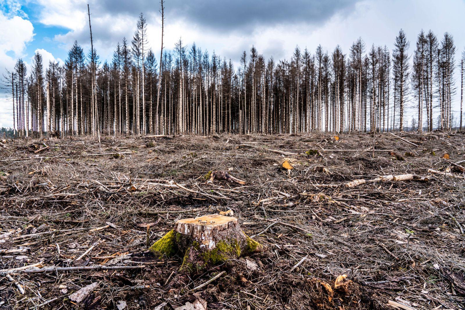 Gerodeter Wald im Arnsberger Wald bei Warstein-Sichtigvor, Kreis Soest, Gelände eines Fichtenwald, der auf Grund von sta