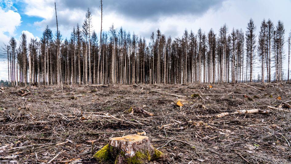 Rodung im Arnsberger Wald: Die Bäume waren nach starkem Borkenkäfer-Befall abgestorben und mussten gefällt werden