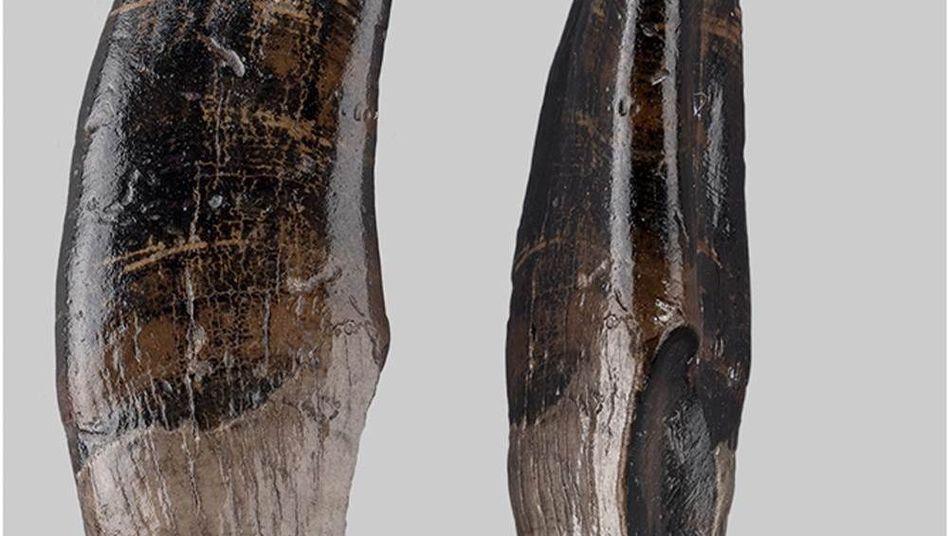 Linker oberer Eckzahn einer fossilen Makakenart vom Nordseegrund