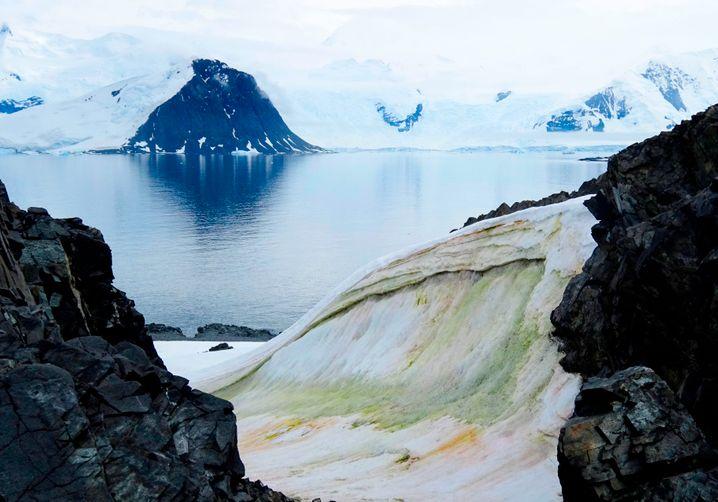 Verfärbter Schnee auf der antarktischen Halbinsel