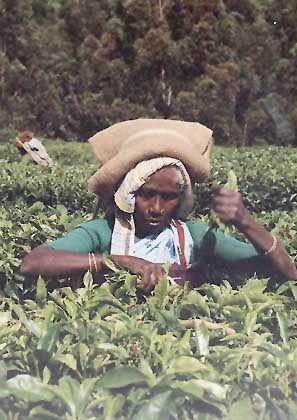 Teepflückerin in Munnar: Hier sind einige der höchsten Teeanbaugebiete der Welt beheimatet