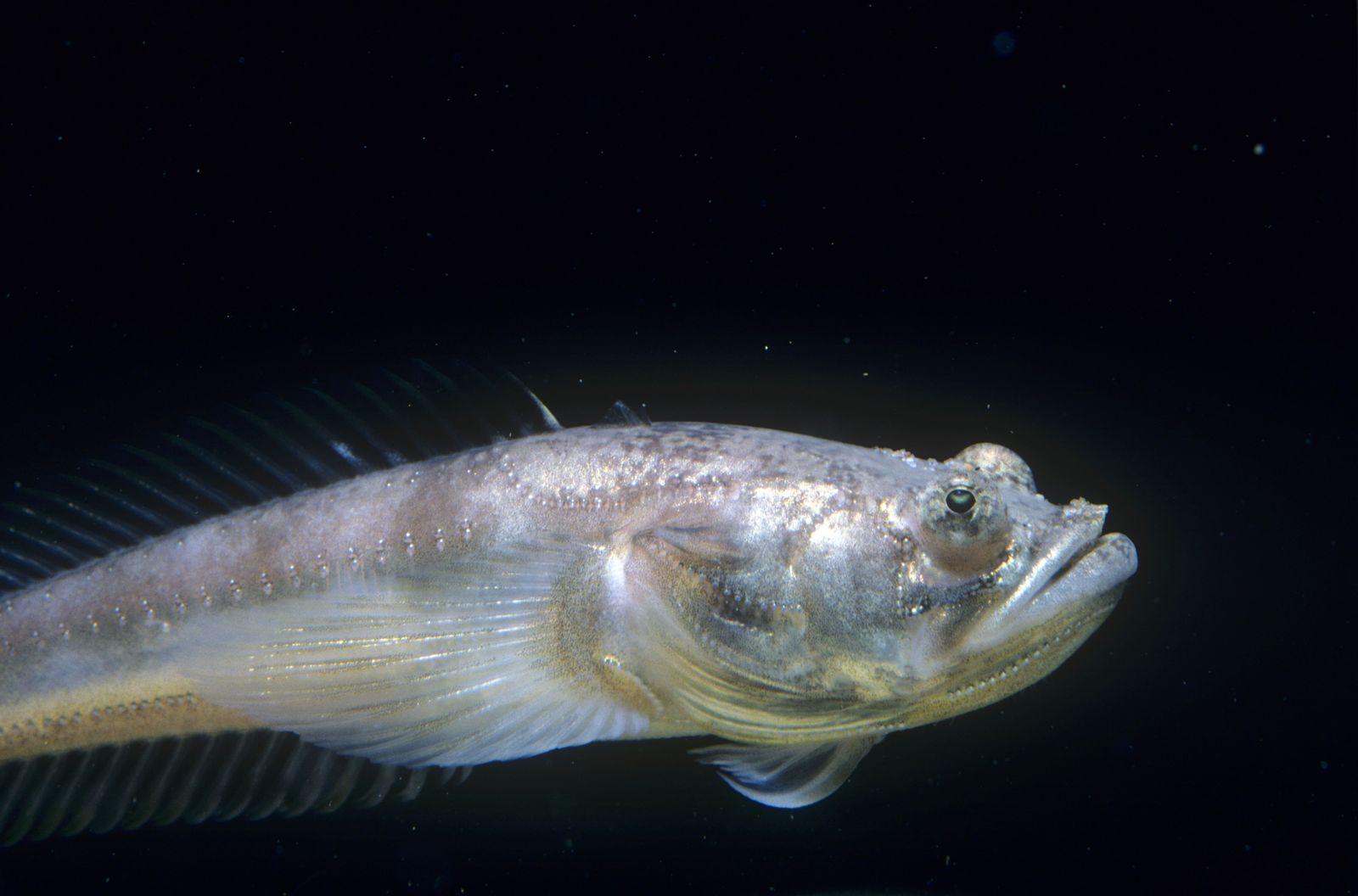 NICHT MEHR VERWENDEN! - Brummfisch / Midshipman Fish