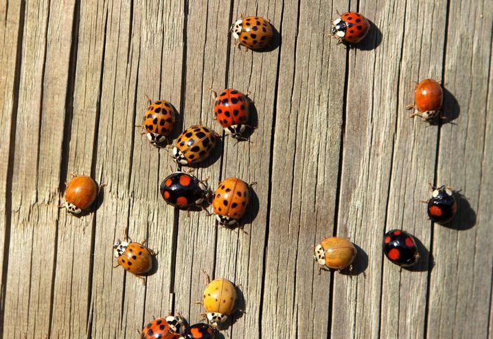 Vielseitig: Die Färbung Asiatischer Marienkäfer variiert stark