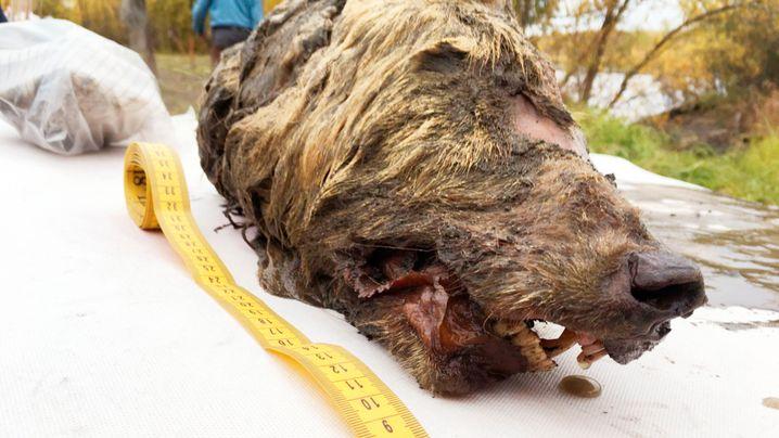 Urzeit-Fund aus Sibirien: Wolf mit Megaschädel