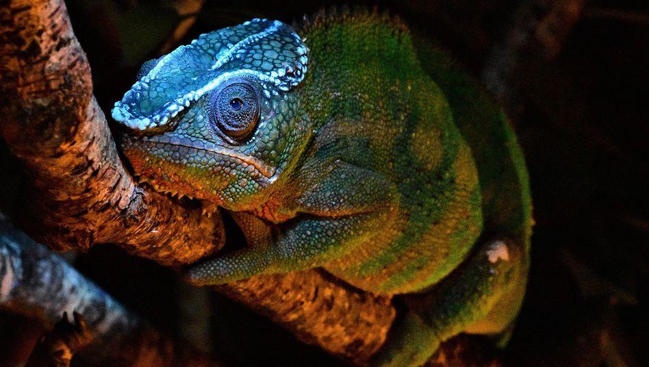 Pantherchamäleon (Furcifer pardalis) mit fluoreszierendem Kranz auf dem Kopf