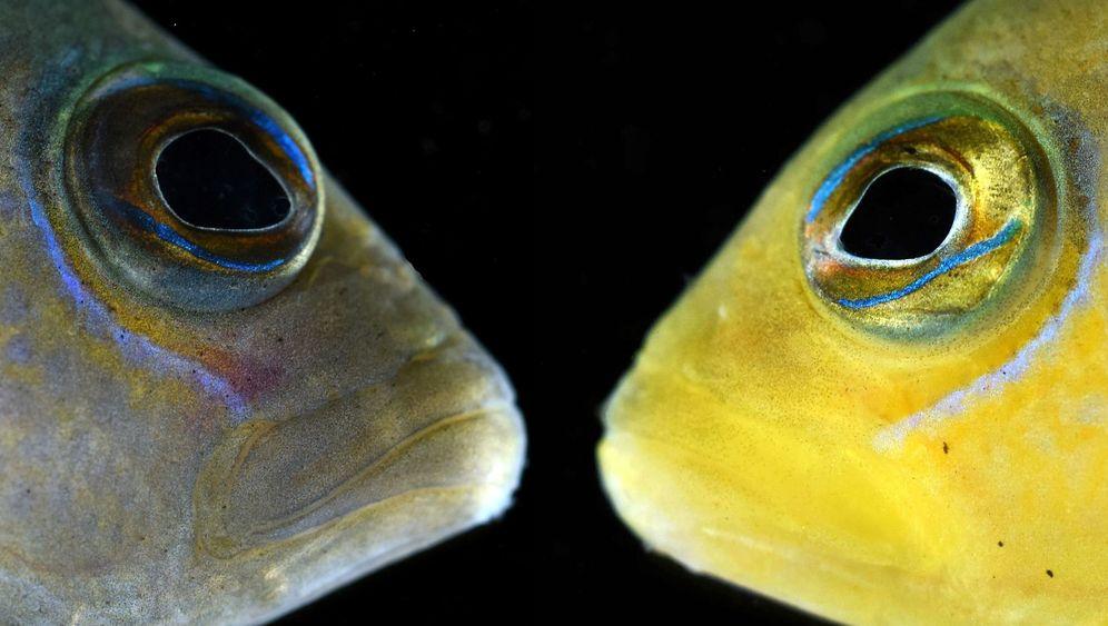 Brauner Zwergbarsch: Tarnkünstler vom Great Barrier Reef