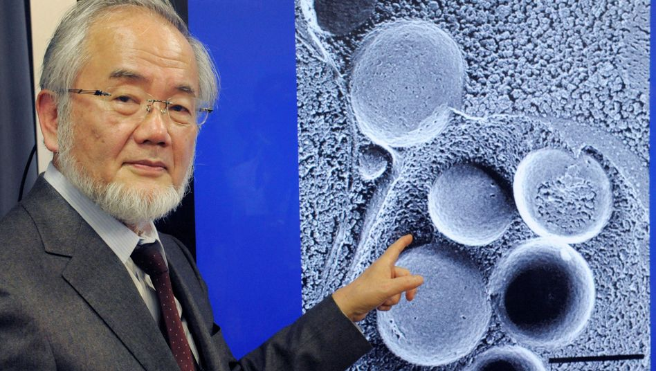 Medizin-Nobelpreis: Wie Herr Ohsumi die Müllabfuhr im Menschen entdeckte