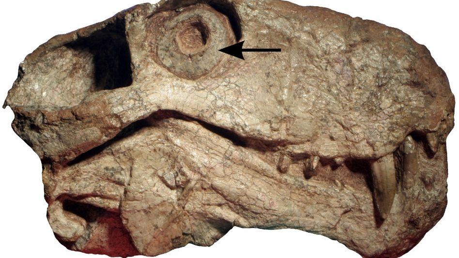 An den Augenringen abgelesen: Ob die Synapsiden nachts aktiv waren, lässt sich an ihren Skleralringen ablesen - auch nach 300 Millionen Jahren.