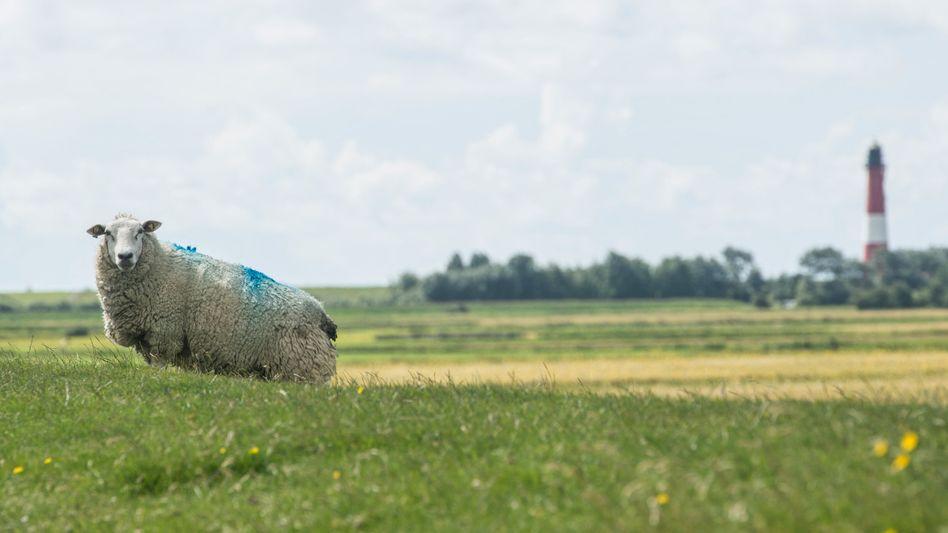 Schaf auf der Insel Pellworm