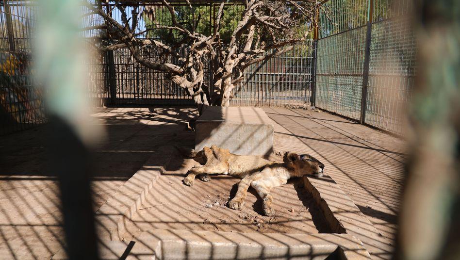 Zoo in Sudan: Einem Löwenrudel droht der Hungertod