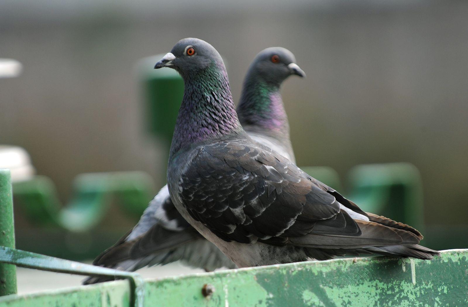 Tauben Streit