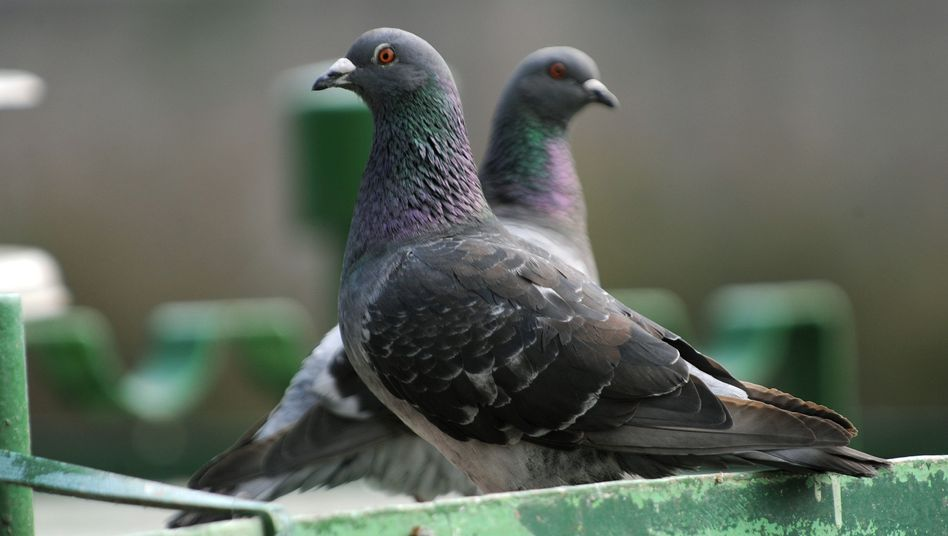Tauben in Kassel: Der Falkner aus Hessen darf die Vögel wieder jagen