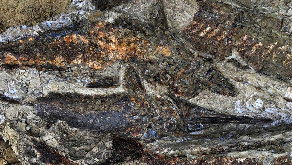 Fischfossilien in North Dakota