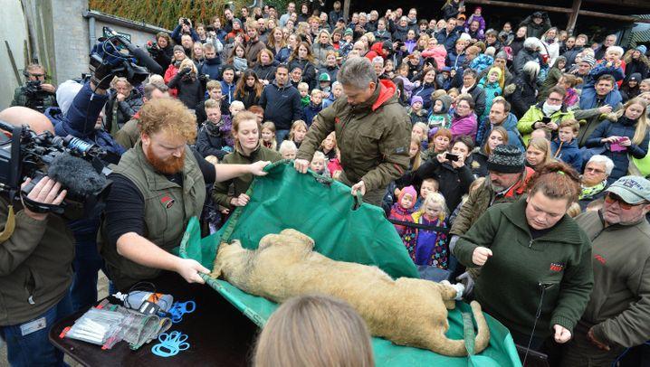 Dänemark: Löwe wird öffentlich seziert