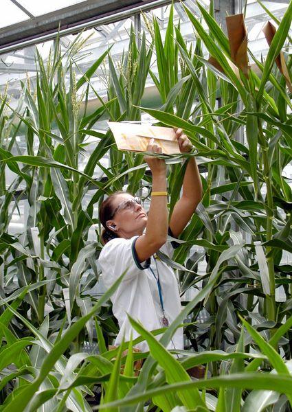 Eine Monsanto-Mitarbeiterin sammelt Pollen von gentechnisch verändertem Mais in einem Treibhaus der Konzernzentrale in St. Louis (Archivbild von 2005)