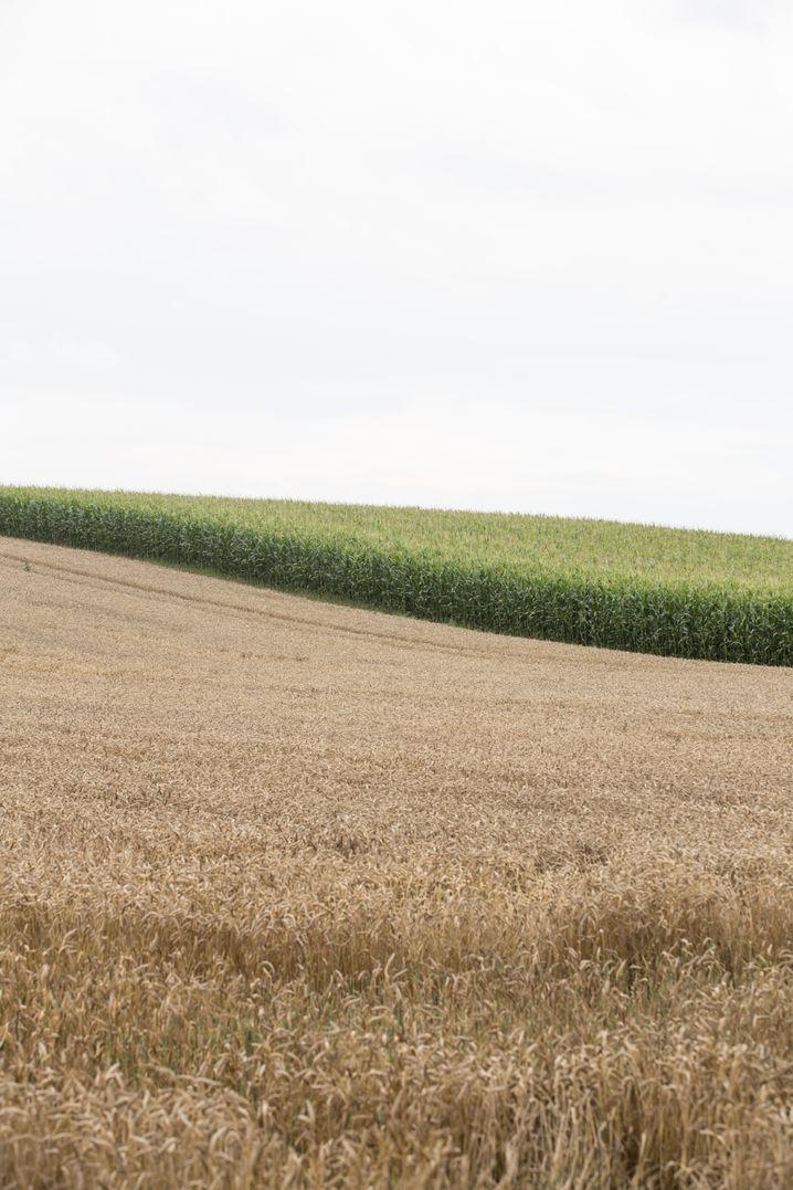 Konventionelles Maisfeld mit Getreideacker