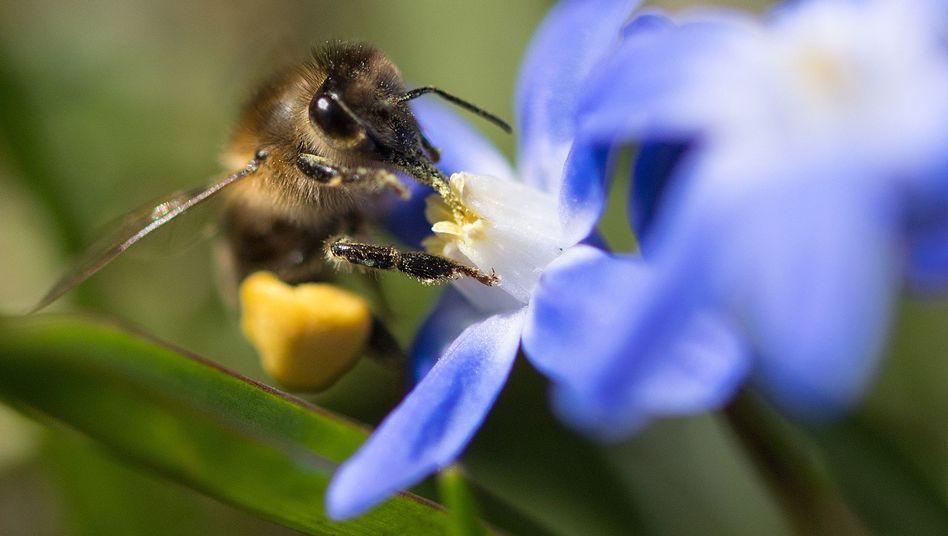 Biene auf einer Blüte: Die ökologische Landwirtschaft soll stärker ausgebaut werden