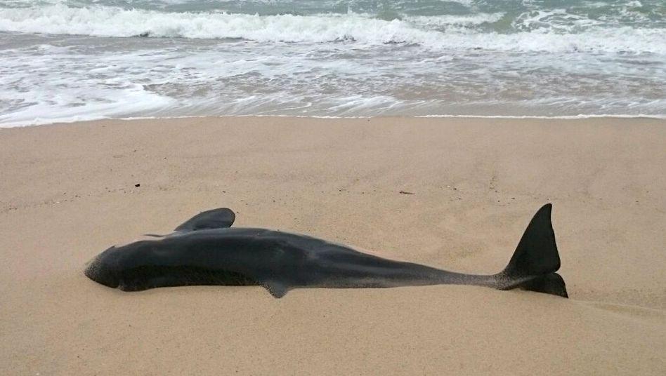 """Angespült auf Sylt: """"Dass ein Orca bei uns strandet, ist eher ungewöhnlich"""""""