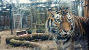 Tiger Sergan hätte gern Besuch