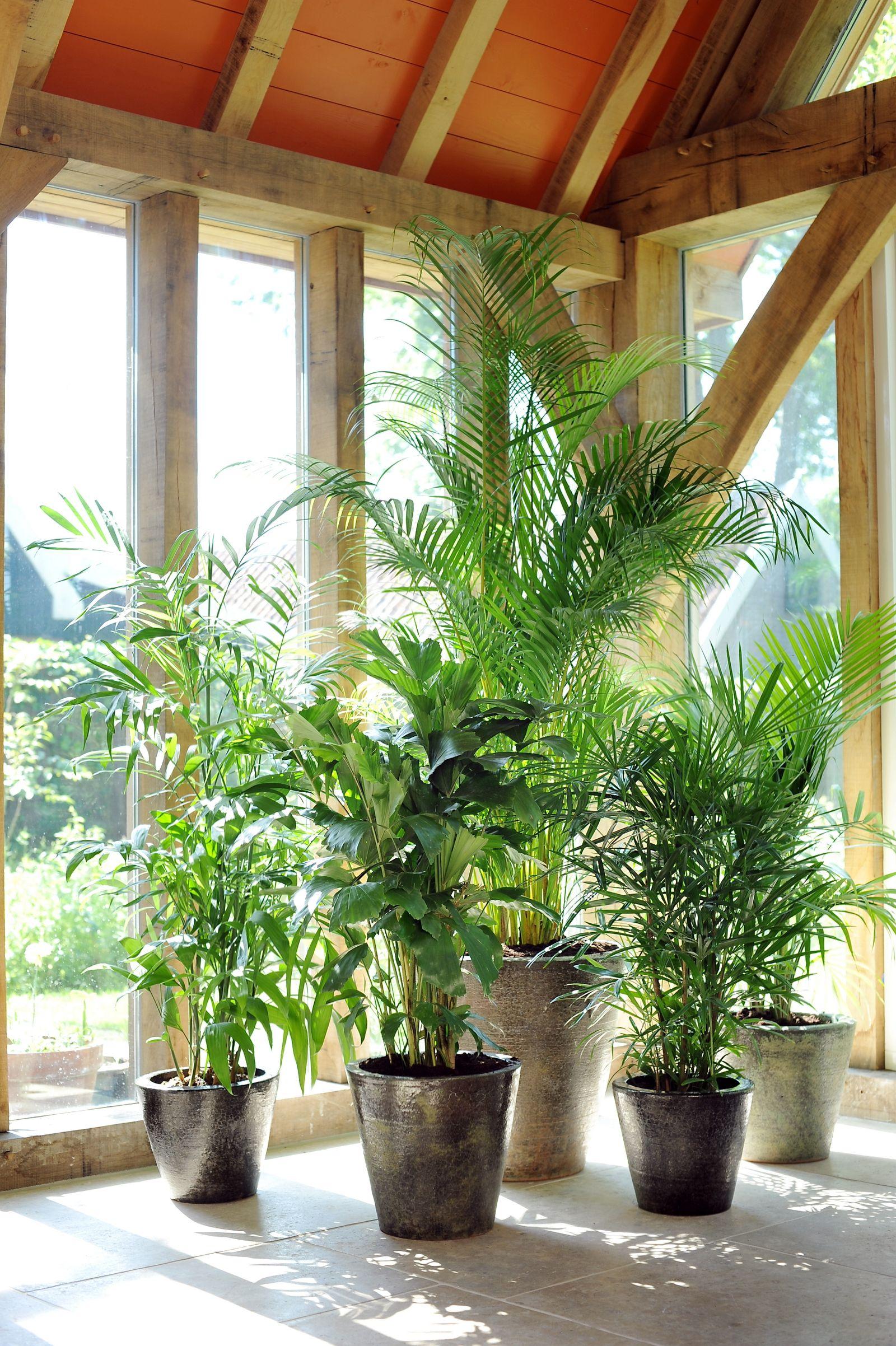 Pflanze / Zimmerpflanze / Palme