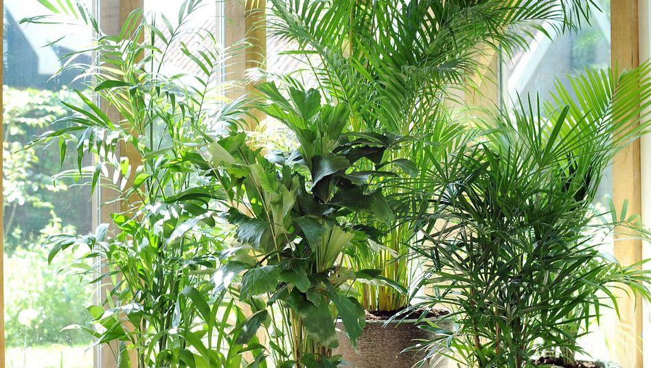 Zimmerpalmen: Was bringt erkrankte Pflanzen wieder zum Blühen? Globuli, gut zureden oder einfach nur eine gute Pflege