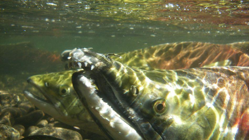 Rotlachse im Fraser-Fluss: Die Fische merken sich offenbar das Magnetfeld ihrer Heimat