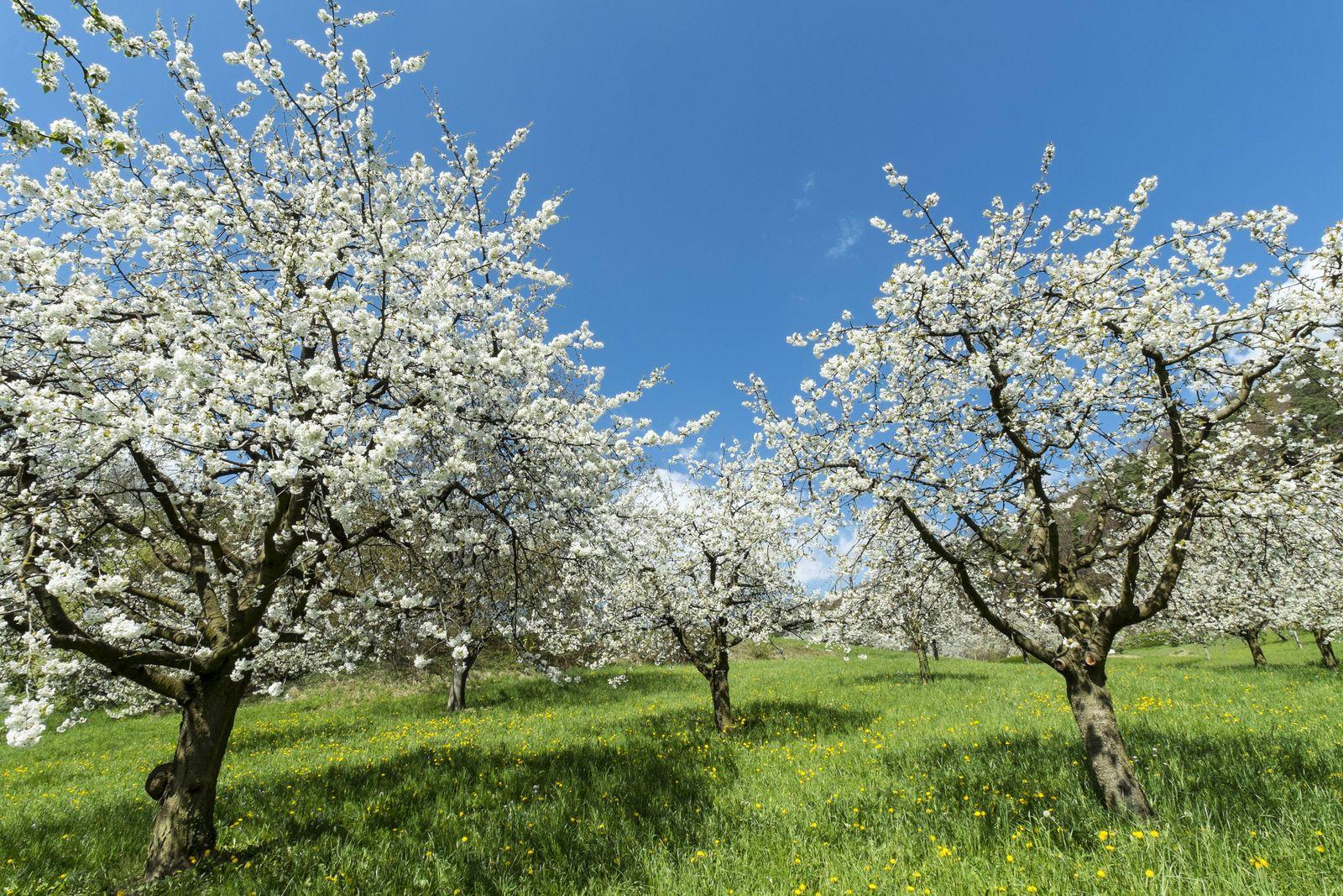 EINMALIGE VERWENDUNG Apfelbaum / Blüte
