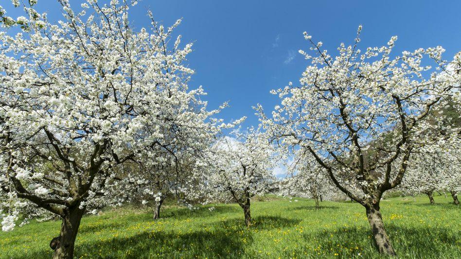 Als diese Apfelbäume blühten, war unsere Kolumnistin ein Kind