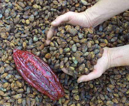 Kakaobohnen: Trinschokolade gibt es schon seit 2600 Jahren