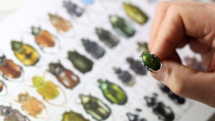 Hobby-Insektenkundler: Stammtisch für seltene Käfer