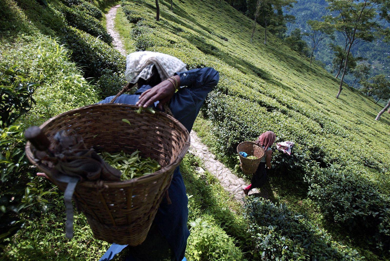INDIA-COMMODITIES-TEA-TOURISM