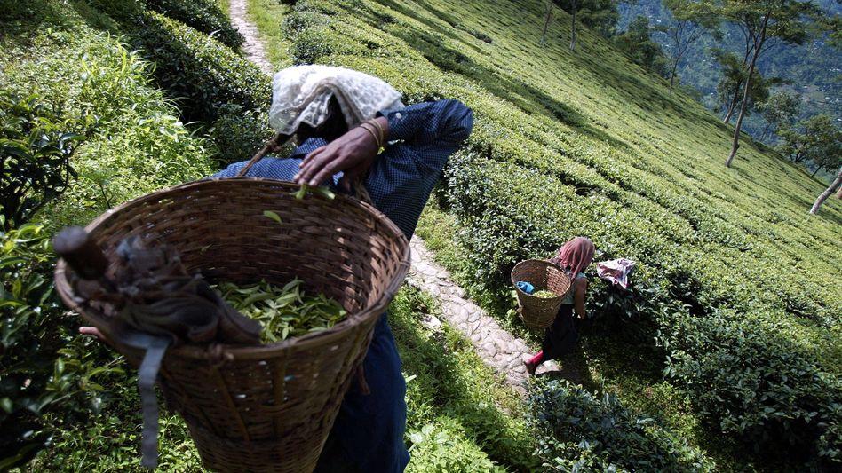 Tee-Ernte in Indien (Archiv-Bild)