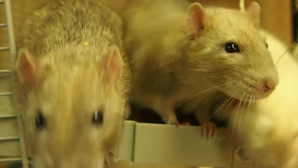 Photo Gallery: Police Rats