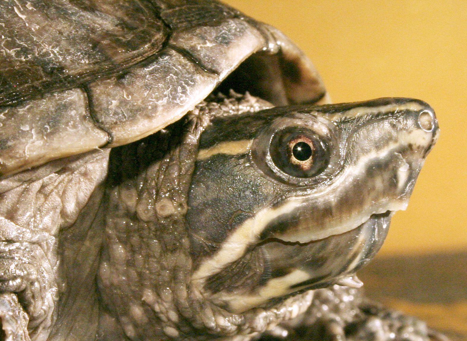EINMALIGE VERWENDUNG Schildkröte / Atmung