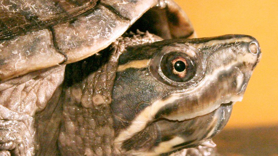 Moschusschildkröte: Bis zu 150 Tage unter Wasser