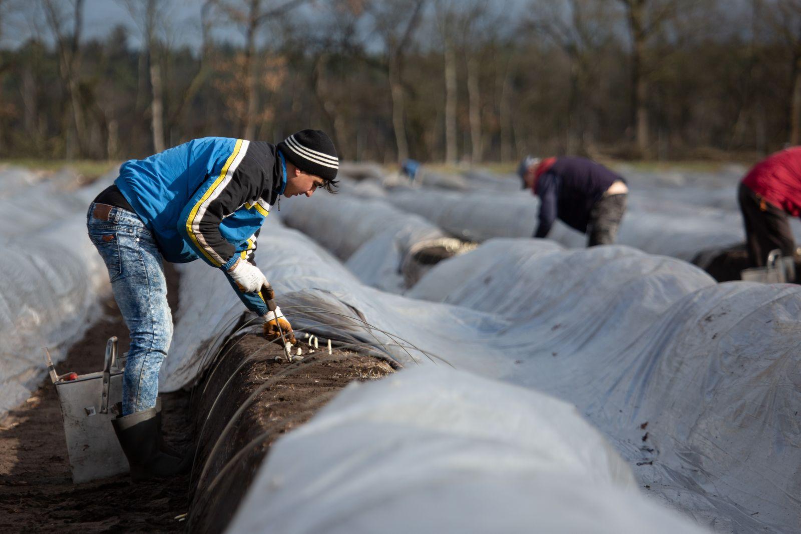 Beheizte Felder: Spargelsaison in Niedersachsen beginnt