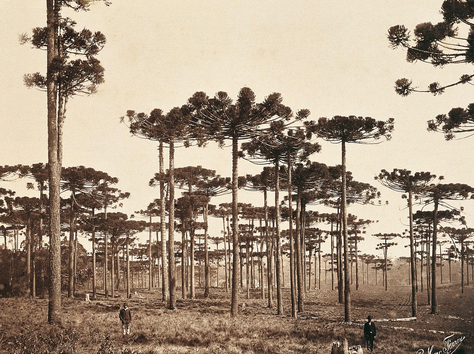Historische Reisebilder - Araucarias