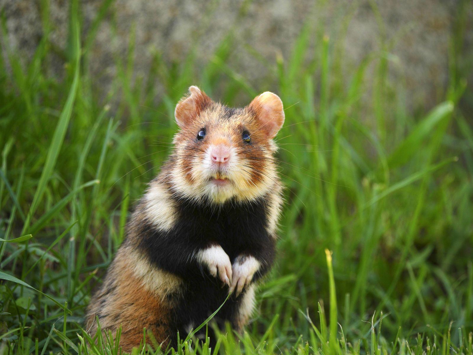 EINMALIGE VERWENDUNG Hamster