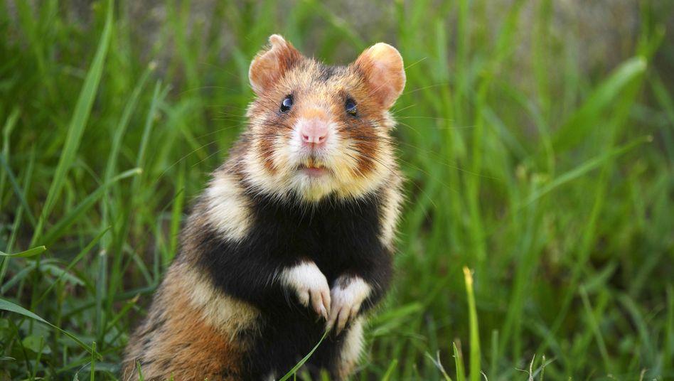 """Ein Taxifahrer hat der Polizei von einem kuriosen Zusammenstoß berichtet: Angeblich habe er einen """"großen Hamster"""" angefahren"""