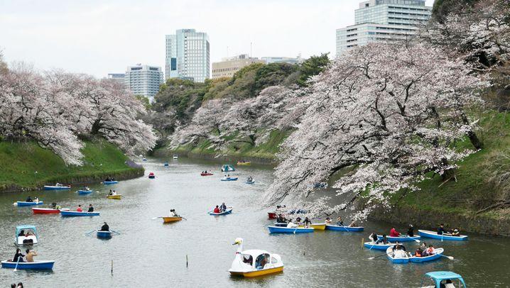 Tokio in Rosa: Blüten-Hype in Japan