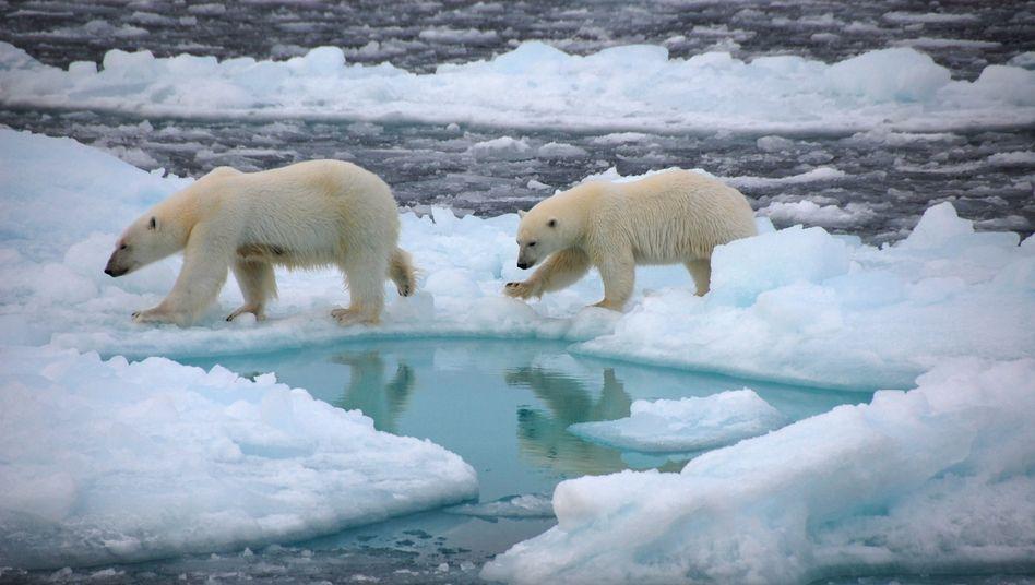 Eisbären in der Arktis: Die Tiere sind für die Jagd auf die Schollen angewiesen