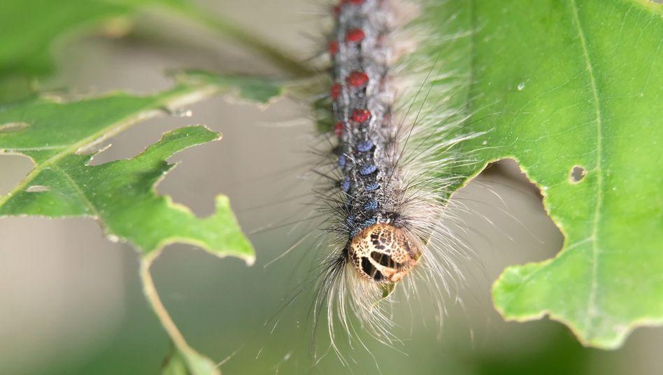 Schwammspinner (Lymantria dispar): Seit dem heißen und trockenen Jahr 2015 steigt die Populationsdichte