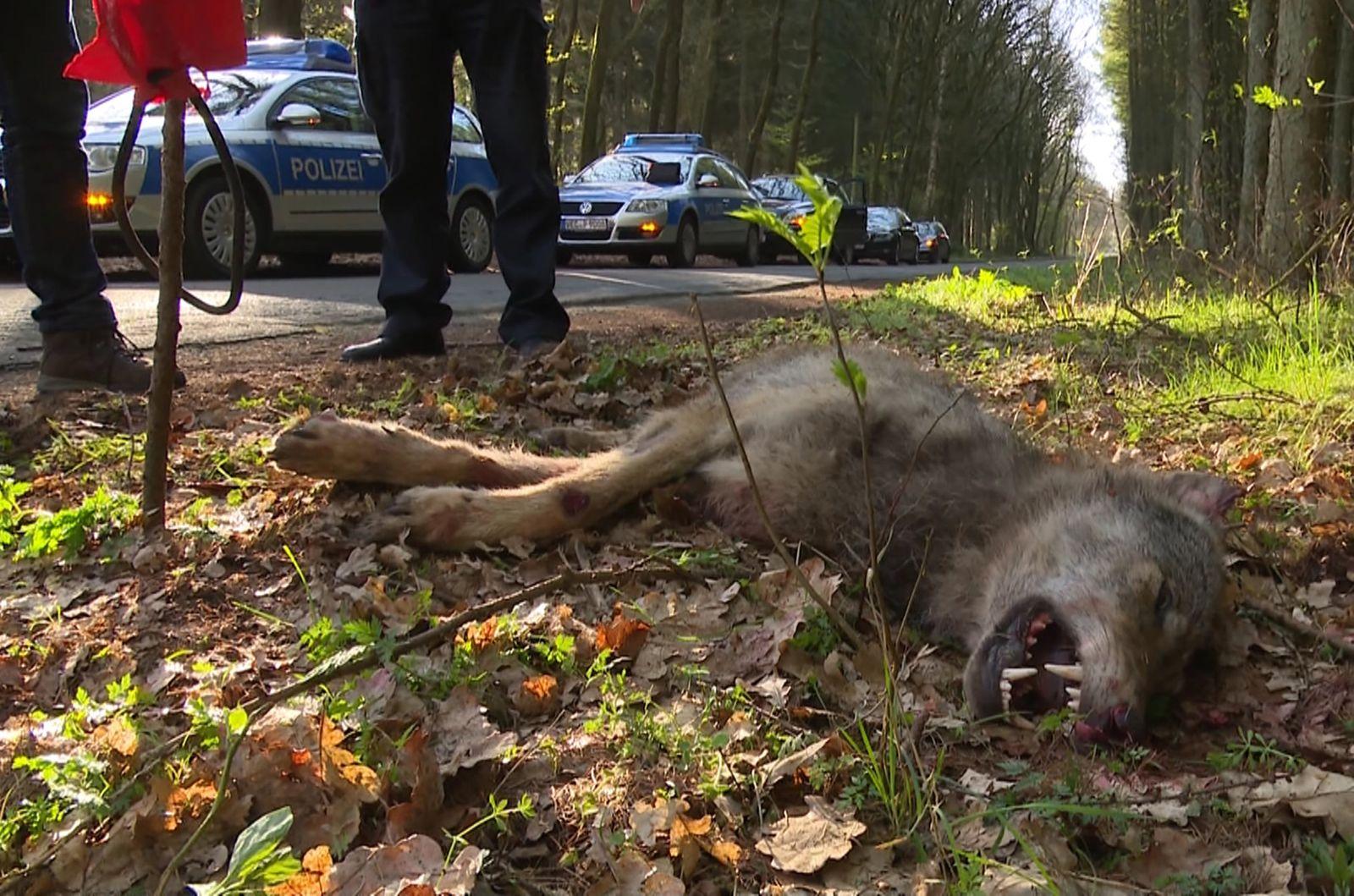 Autofahrer kollidiert mit Wolf