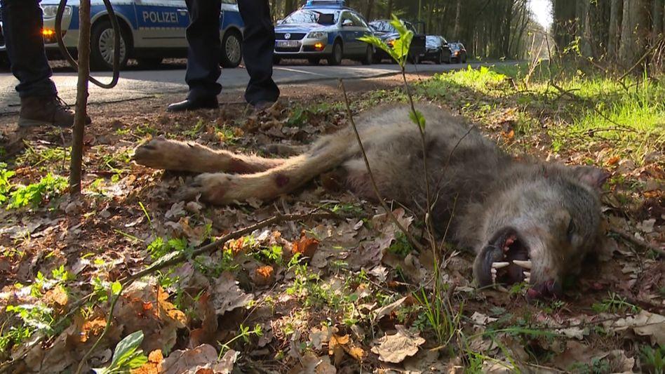Überfahrener Wolf bei Visbek in Niedersachsen (April 2017): Die Zahlen steigen