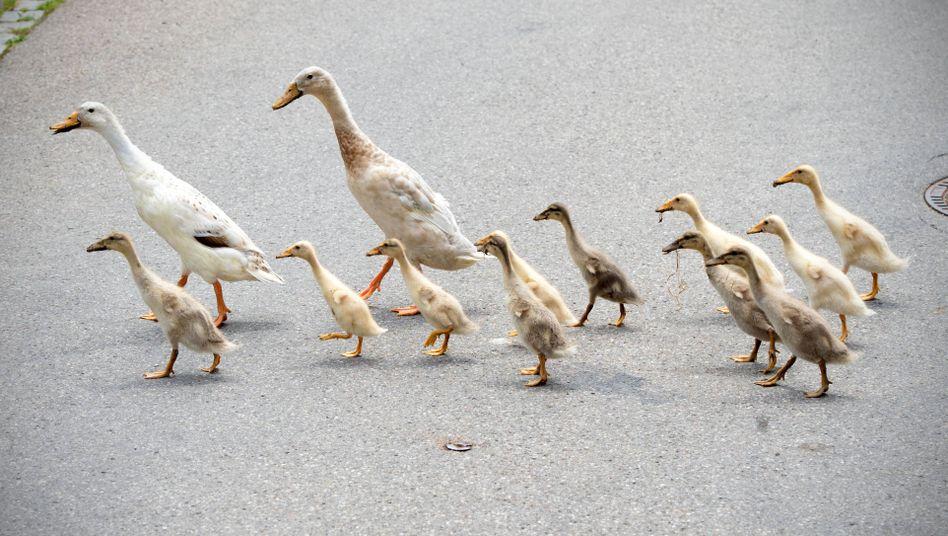Entenfamilie (Symbolbild): Polizeieinsatz mit Folgen in Karlsruhe