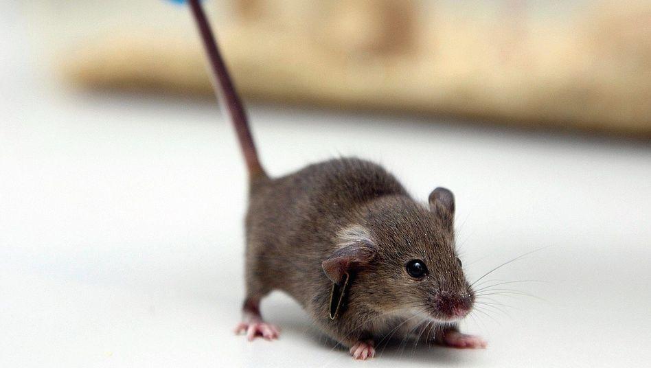 Forschungsobjekt Labormaus:Geschöpf ohne Entsprechung im Tierreich