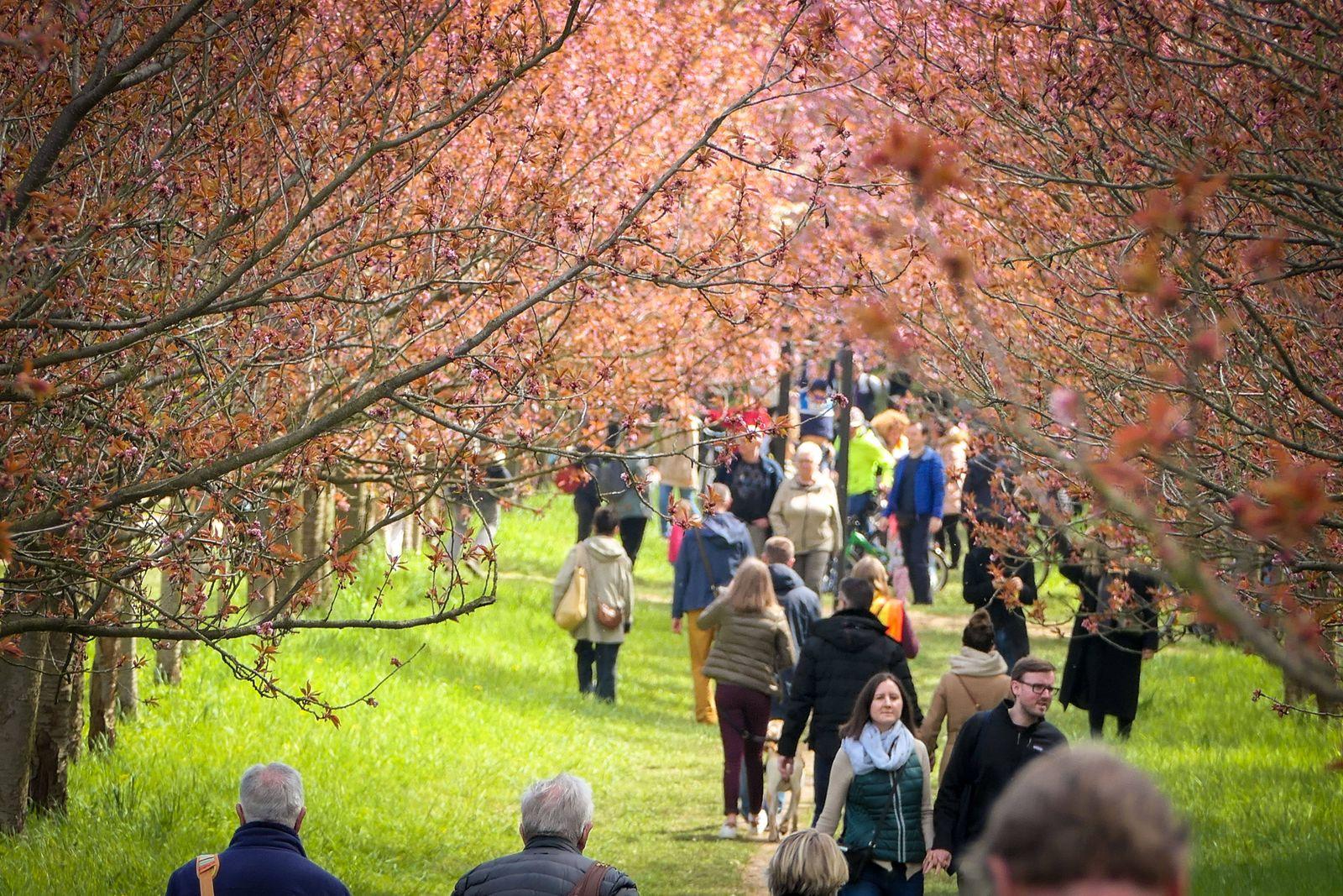 08.05.2021,Berlin,Deutschland,GER.Die japanische TV-Asahi-Kirschblütenallee auf der Grenze von Berlin und Brandenburg be