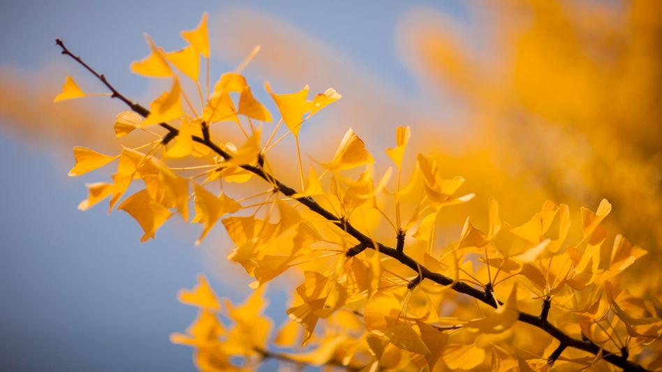 Herbstlich gefärbter Ginkgobaum: Neue Gehölze in deutschen Gärten