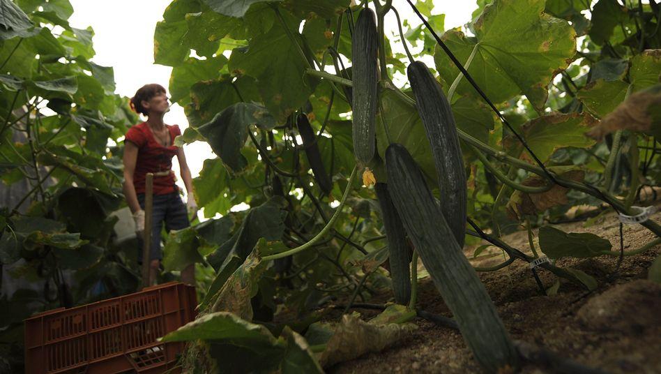 Gewächshaus in Almeria, Spanien: Salatgurken mit Ehec-Erregern