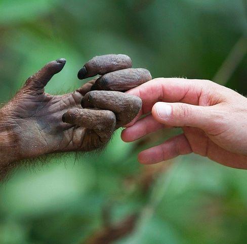 Menschen und Affen sind sich extrem ähnlich – nicht nur in der Form ihrer Hände.